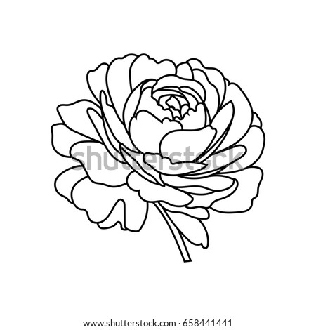 Flowers rose, black and white. Isolated on white background.
