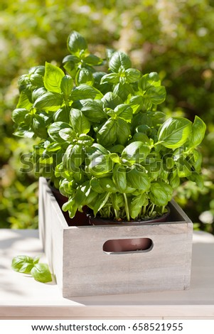 fresh basil herbs in wooden container in garden #658521955