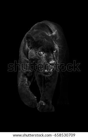 black panther walking out of the dark and into the light, amazing wildlife wallpaper