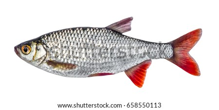 Fish river roach isolated on white background (Scardinius erythrophthalmus)
