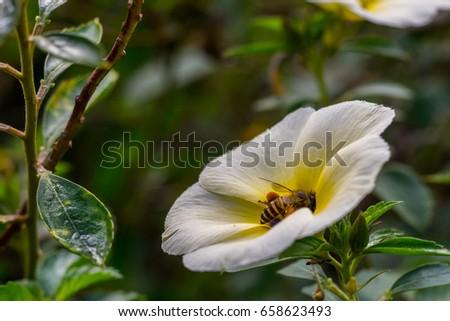 Honey bee Bee sucking nectar inside beautiful white Alder Flower  (Turnera Subulata). #658623493