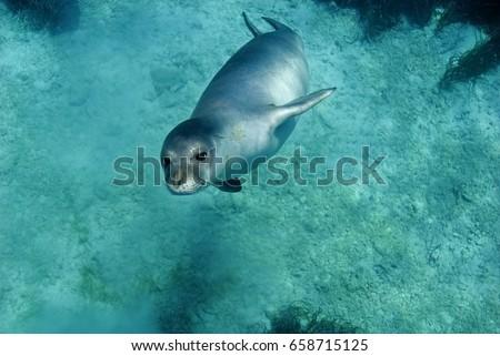 Diving picture of Mediterranean monk seal, Gokova Bay Turkey.