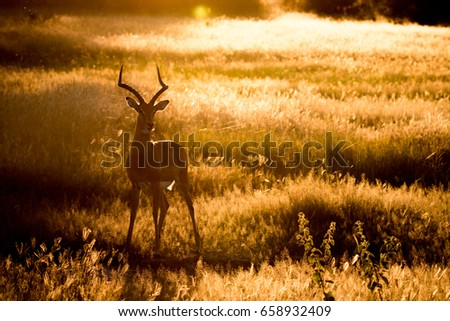 Silhouette of an Impala in the Chobe National Park, Botswana. #658932409