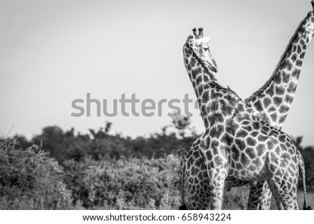 A Giraffe bonding with another one in the Chobe National Park, Botswana. #658943224