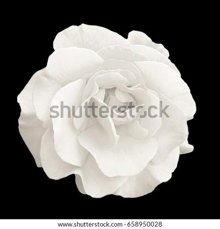 Tender white rose flower macro isolated on black #658950028