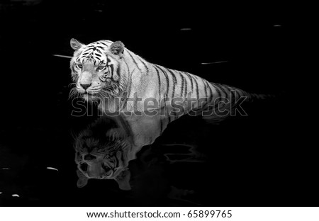 Black and white picture of a white tiger standing in water