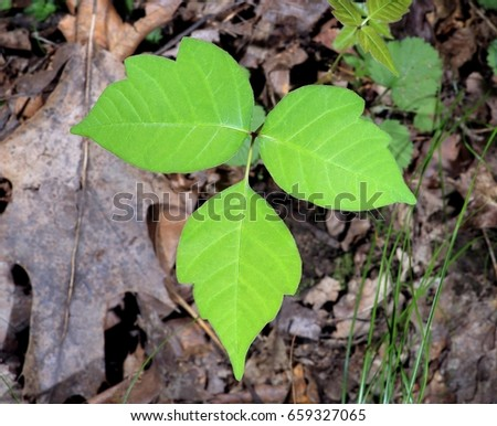 Poison ivy plant (Toxicodendron radicans) on the forest floor.