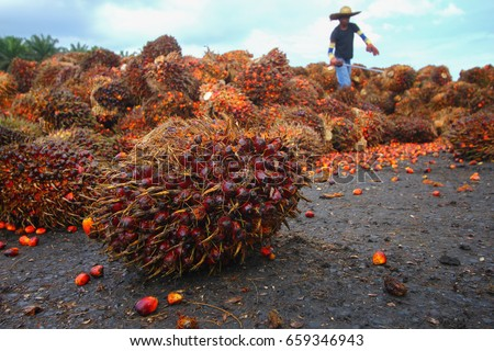 OIl palm fruits with workers working in background #659346943