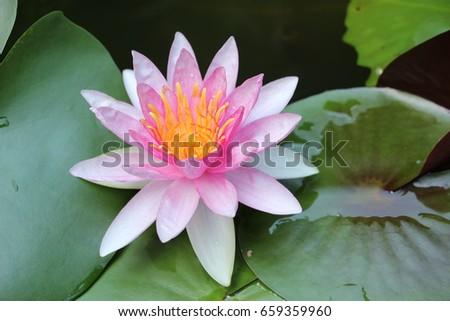 pink lotus flower #659359960