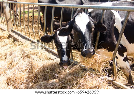 Cow is feeding grass #659426959