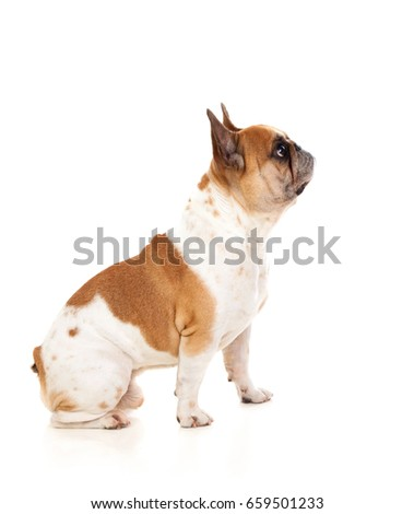 Portrait in Studio of a cute bulldog isolated on a white background #659501233