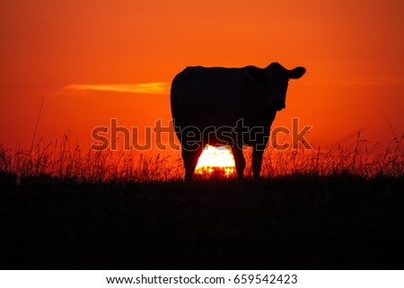 Cow's silhouette at sunset in a meadow with the sun glowing #659542423