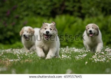 Three running Great Pyrenees puppies Royalty-Free Stock Photo #659557645
