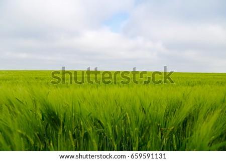 Green wheat ears in the field. #659591131