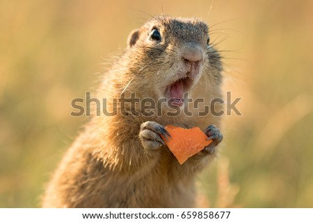 Small and lovely ground squirrel on a meadow among flowers during warm spring sunset. Very surprised, with its mouth opened. Peaceful, relaxing, amazing and funny  Royalty-Free Stock Photo #659858677
