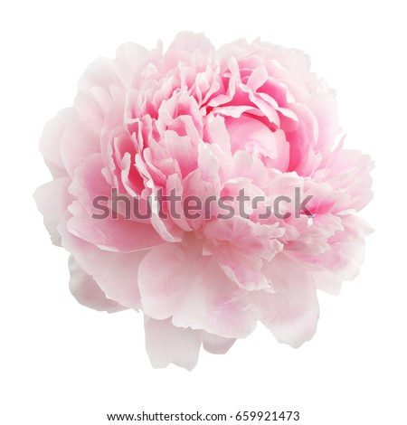 Pink peony isolated on white background