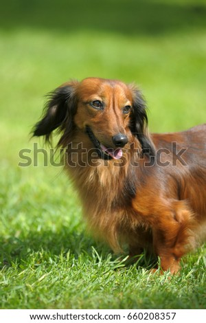 Dachshund on a background of green grass #660208357