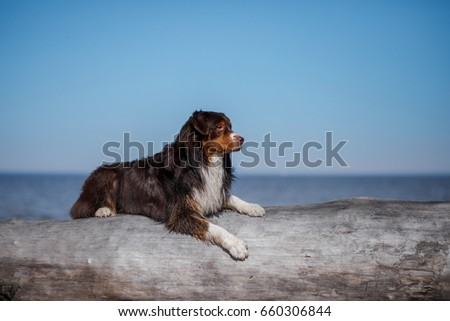 dog chocolate-colored Australian shepherd on the beach, looking at sea #660306844