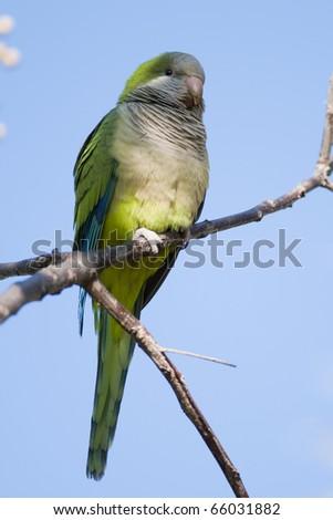 Green Quaker Parrot on a branch #66031882