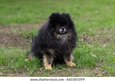 Pomeranian black dog sitting happy on green grass #660385099