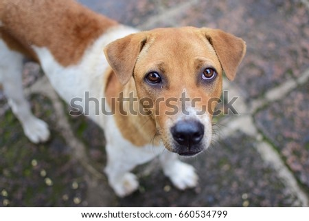 Cute stray dog standing on temple ground in Chiang Mai , Thailand , selective focus, close up photo #660534799