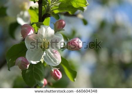 apple blossom #660604348