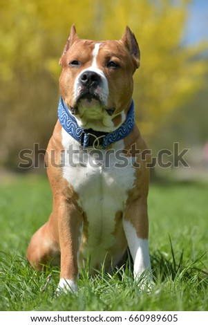 American Staffordshire Terrier sits in the spring outdoors #660989605