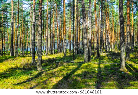 Pine tree forest background #661046161