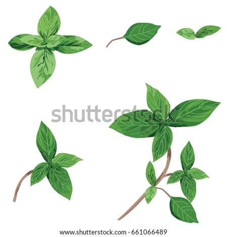 basil plants Osmium basilicas #661066489