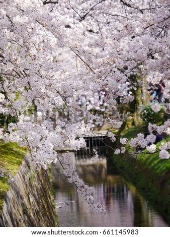 cherry blossom and canal #661145983