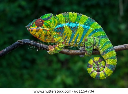 Chameleon Furcifer pardalis Ambolobe 2 years old, Madagascar endemic Panther chameleon in angry state, pure Ambilobe #661154734