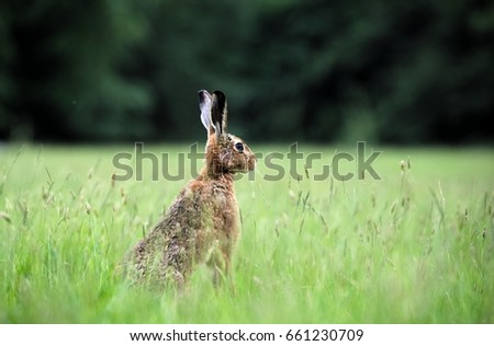 Brown hare, Yorkshire Dales #661230709