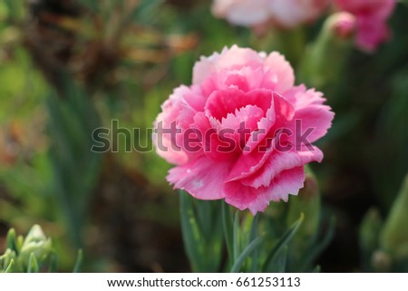 Pink carnation blooming in the garden #661253113