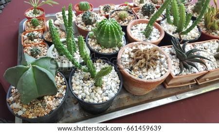 Cactus plants #661459639