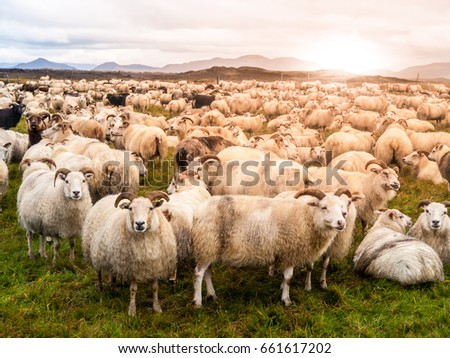 Large herd of sheeps at sunset time, Iceland. #661617202