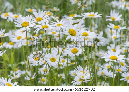 white daisy flowers meadow #661622932