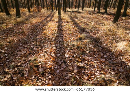 Shadows in the fall forest #66179836