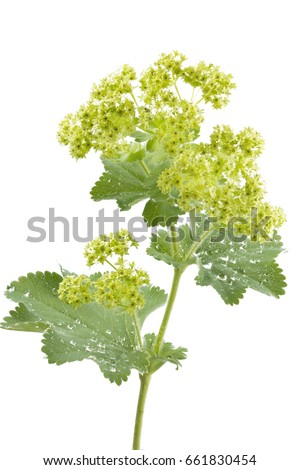 Alchemilla flowers isolated on white #661830454