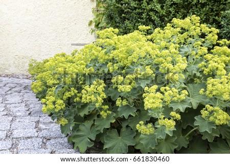 Alchemilla flowers in the Garden, closeup #661830460
