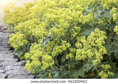 Alchemilla flowers in the Garden, closeup #661830463