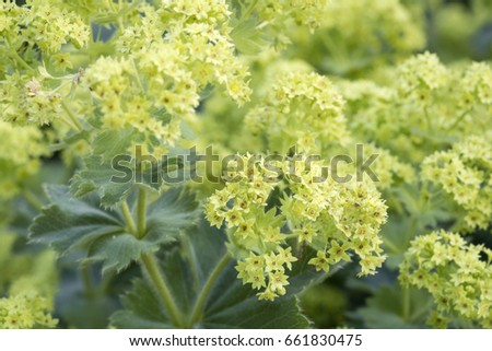 Alchemilla flowers in the Garden, closeup #661830475