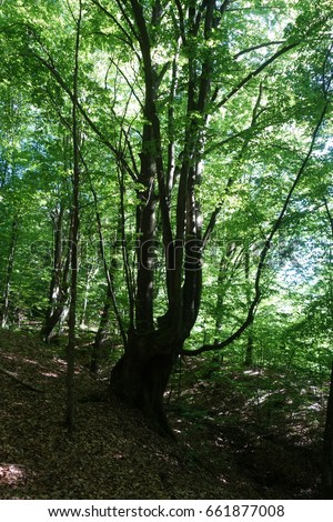 The Carpathian forest. Transcarpathia #661877008