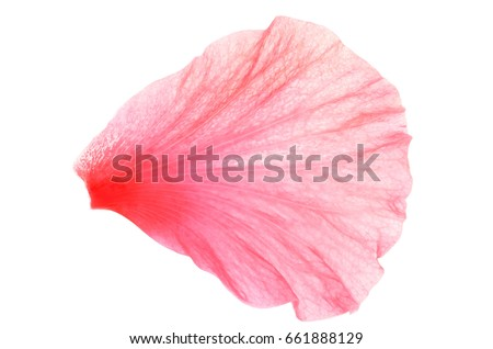 Close up photo image of pink hibiscus or chinese rose petal isolated on white background, flowery pattern, abstract leaf texture Royalty-Free Stock Photo #661888129