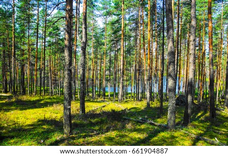 Pine tree forest background #661904887