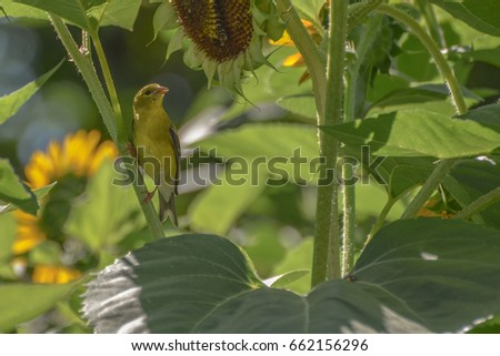 American Gold finch feeding on sun flower seeds. #662156296