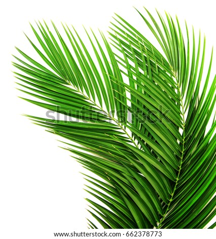Palm leaf for your design. Isolated on white background #662378773