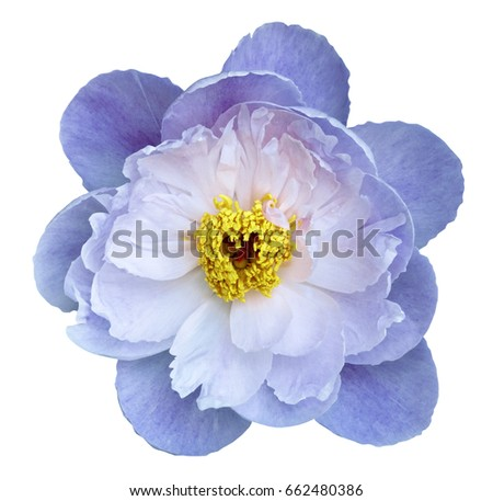 Peony flower white-blue on a white isolated background with clipping path. Nature. Closeup no shadows. Garden flower.  #662480386