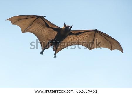 Bat flying on blue sky Royalty-Free Stock Photo #662679451