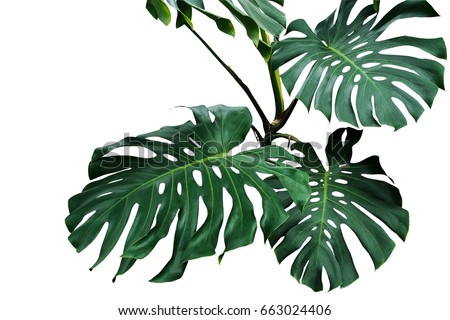 Dark green leaves of monstera or split-leaf philodendron (Monstera deliciosa) the tropical foliage plant growing in wild isolated on white background, clipping path included. Royalty-Free Stock Photo #663024406