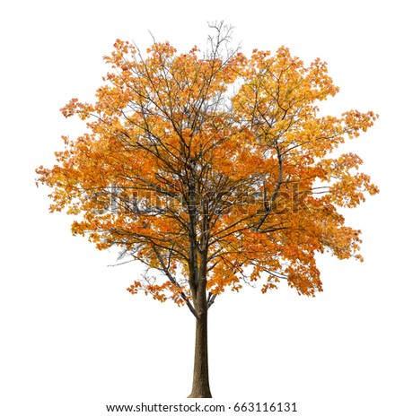medium straight autumn maple tree isolated ob white background #663116131